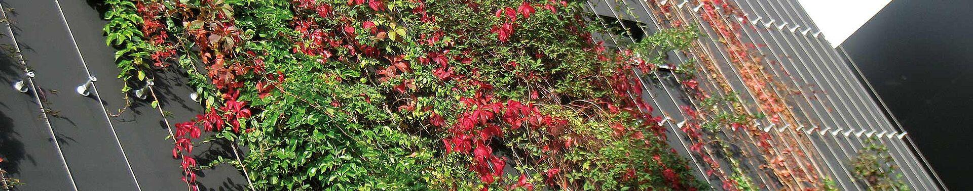 Végétalisation mur extérieur