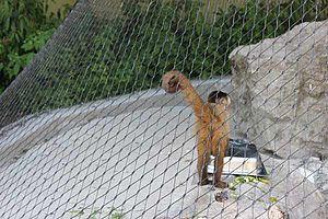 Zoo Augsburg Kapuzineräffchen Gehege