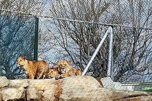 Lions enclosure safety