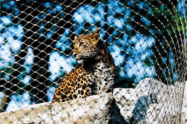 Raubtiergehege Leopard Carl Stahl Architektur X-TEND Edelstahlseilnetz